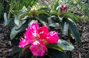 Рододендрон цвете