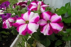 петуния цвете
