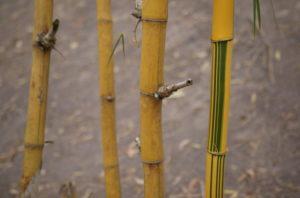 бамбук ползи
