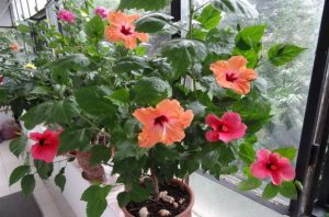 цветя саксия