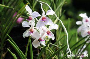 орхидеи цъфтеж