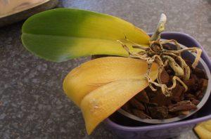 орхидея съживяване