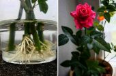 роза букет