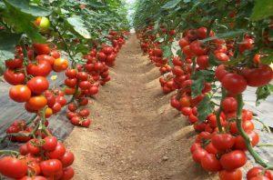 домати засаждане