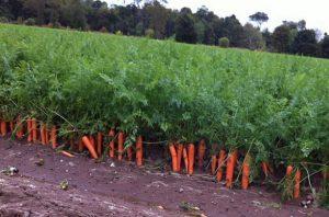 моркови отглеждане