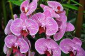 орхидея обилен цъфтеж
