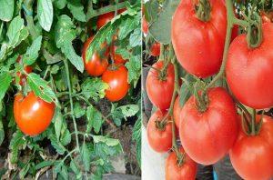 отглеждане на домати