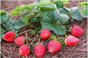 ягоди отглеждане