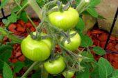 зеленчуци съвети на градинаря