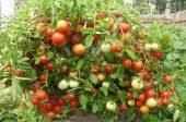 домати бакпулвер