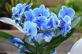 орхидея подарък