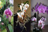 пресаждане на орхидеи