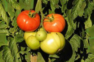 засаждането на домати
